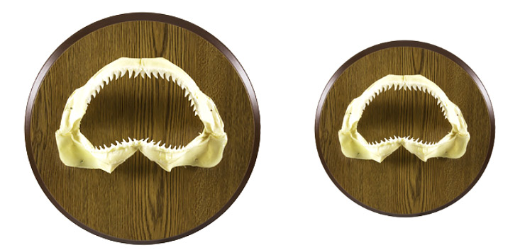 Jaw Head And Tail Mounts Gallery Mounted Fish Fish Trophy