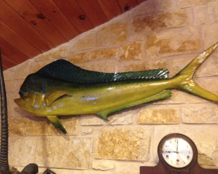 Dolphin fish mount from Gray Taxidermy