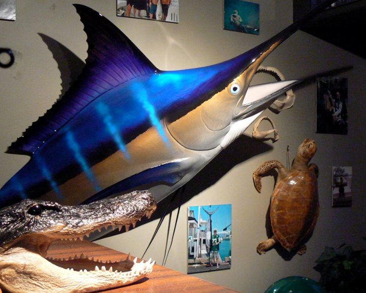 Blue Marlin Head mount from Gray Taxidermy