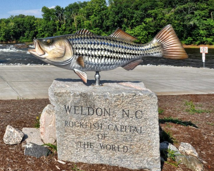 Striped Bass from Gray Taxidermy