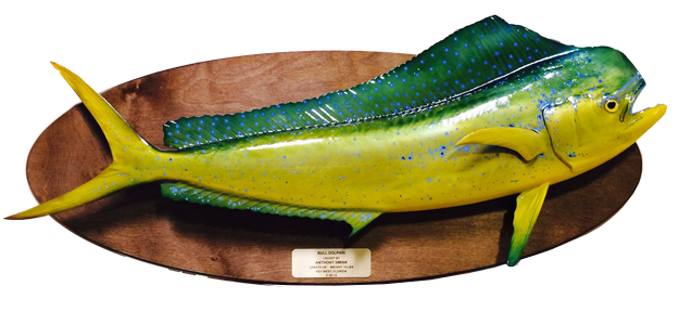 Dorado / Mahi fish mount on wood plaque